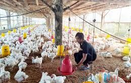 Ayam Potong Ilegal