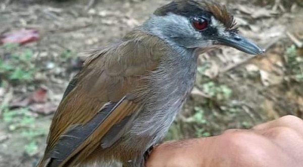 'Bangkitnya' Burung Khas Kalimantan yang Dianggap Punah Hampir 2 Abad Lalu